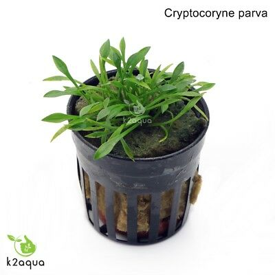 Cryptocoryne parva Live Aquarium Plants Tropical Aquascaping Tank Co2 nano EU