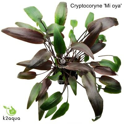 Cryptocoryne wendtii 'Mi oya' Live Aquarium Plants Tropical Tank Co2 EU