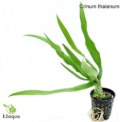 Crinum thaianum Bulb Live Aquarium Plant Tropical Aquascaping Fish Tank Water EU