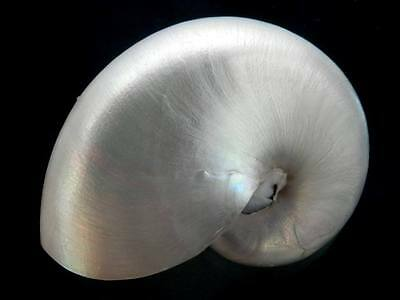 "Seashell Pearlized Chamber Nautilus pompilius, whole, 6"" FREE Shipping"