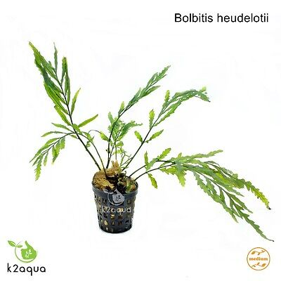 Bolbitis heudelotii Live Aquarium Plants Java Fern Aquascaping Tank Co2 Nano EU