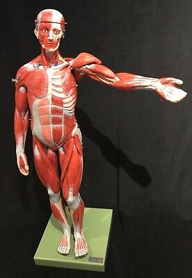 General Doctor Muscle Figure Anatomical Model Muscles of the Body Anatomy 78 cm