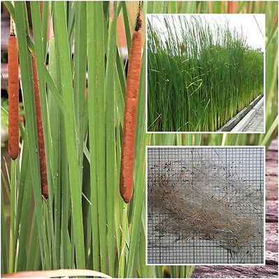 50 Seeds Narrow-Leaved Cattail Typha angustifolia Lesser Bulrush Lesser Reedmace