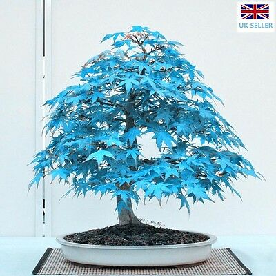 Blue Japanese Maple Bonsai Acer Seeds Rare Unusual Stunning Garden Plant