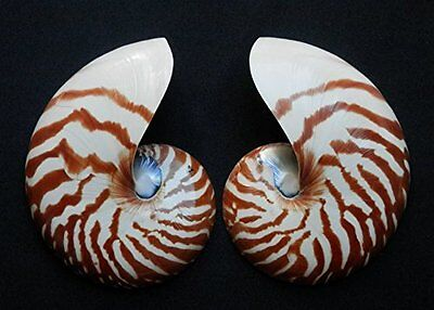 Seashell Polished Chamber Nautilus pompilius, split, 4.5""