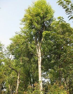 500 fresh Seeds Santalum album Sandal wood tree RARE