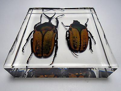 MEGALORRHINA HARRISI PEREGRINA ( Male & female ). Clear resin encapsulation