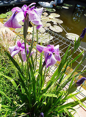 "2 pieds de ""iris KOEMPFERI RUBY KING "" plante aquatique de bassin-bordure -pot"