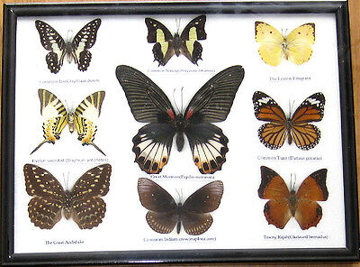 Rare Real 9 Butterfly Insect Display Taxidermy in Wood Frame Collectible Gift