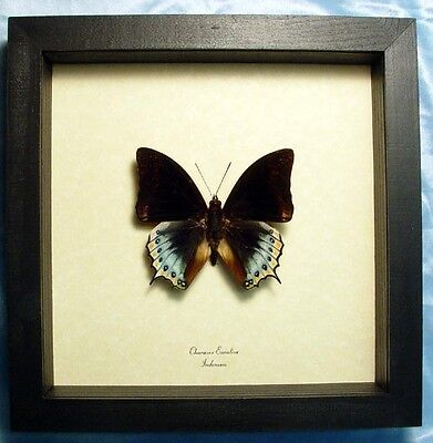 Rare Real Framed Charaxes Eurialus Yellow and Blue Butterfly 6305