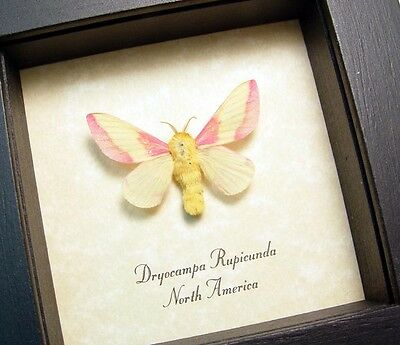 Real Framed Dryocampa Rubicunda The Rosy Maple Moth 8301