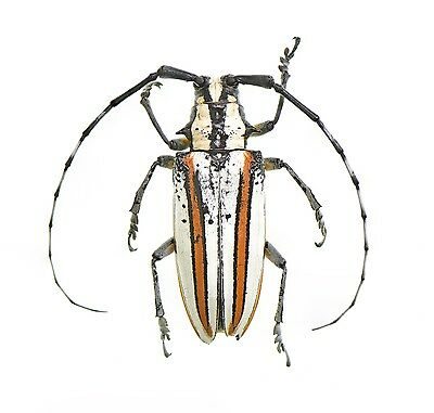 BEETLES : CERAMBYCIDAE Deliathis incana 40mm rarest from mexico #5