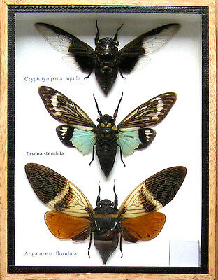 3 Real Insect Rare Insects Display Taxidermy in Wood Box Collectible Gift