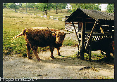 RIND, Photo vintage Foto, Kuh beef cow boeuf vache manzo (37))
