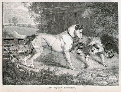 DOG Border Terrier & Fox Terrier, Antique 1840s Print