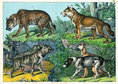 DOG German SHorthaired Pointer & Greyhound, Wolf, Hyena HUGE Antique Print 1880s