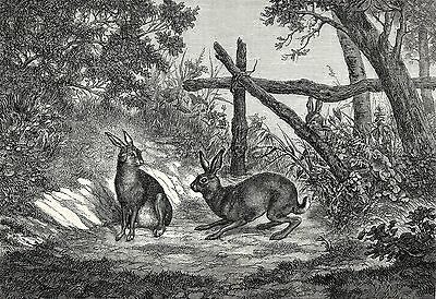 Rabbit Hare, Beautiful Male Rutting Season, Large 1870s Antique Engraving Print