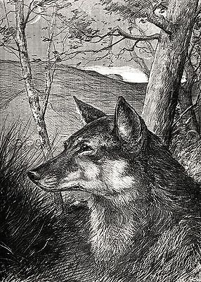 Wolf She-Wolf Portrait, Beautiful Large 1880s Antique Print