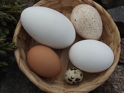 REAL Domestic BIRD BLOWN EGGS SET 5 pcs