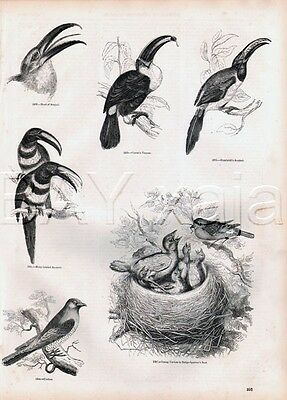 BIRD Toucan Breeds & Cuckoo Lovely Antique 1840s Print