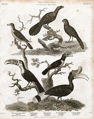 BIRD Toucan, Hornbill, Ani, Oxpecker, Rare Antique 1820 Steel Engraving Print
