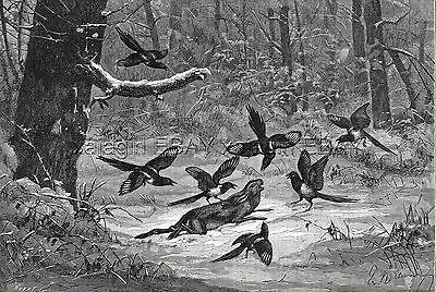 Bird Magpie Crows Attack & Kill Rabbit, Large 1870s Antique Engraving Print