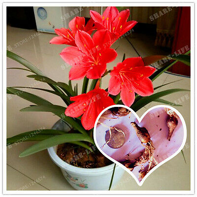 2 Bulbs Red Zephyranthes Candida Flowers Plants Bonsai Flower Bulb Plant