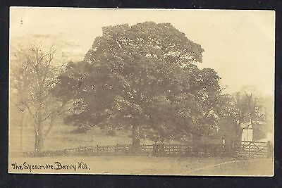Mansfield Berry Hill Sycamore Tree (RP 1905) Notts