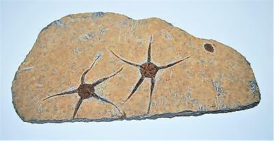 Brittle Star Fossil 450 Million Years Old Morocco #13045 3# 8o