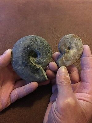 2 Lovely Ammonite Fossils From Madagascar