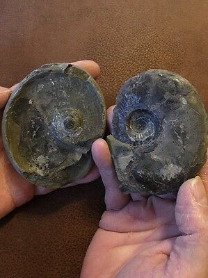 Whitby Pseudolioceras Sp. UK Fossil Ammonite