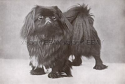 DOG Pekingese Champion (Named) Portrait, Vintage Print 1930s Print #1