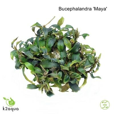 Bucephalandra 'Maya' In Vitro Live Aquarium Plants Shrimp Safe EU InVitro