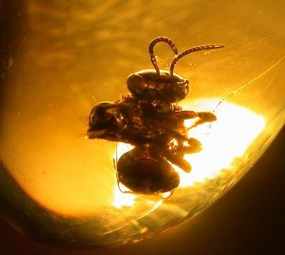 Super RARE Large Stingless BEE in Authentic Dominican Amber Gemstone EXTINCT