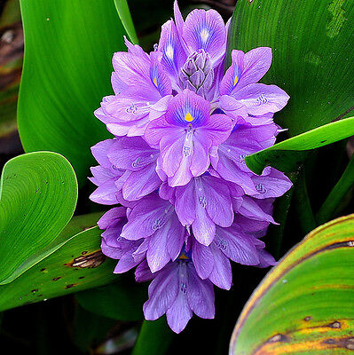 3 Plant With 5, Balls Of Water Hyacinths, Pond Biofilter