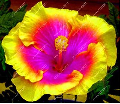 100pcs/bag hibiscus flower seeds giant hibiscus seed Color Yellow Pink