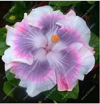 100pcs/bag hibiscus flower seeds giant hibiscus seed Color Pink Purple