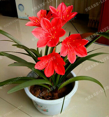 5 Red Bulb Zephyranthes Candida Bulbs,(Not Zephyranthes Candida Seed)