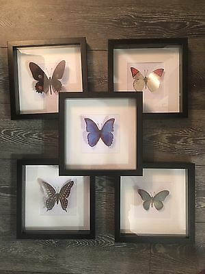 Framed Butterflies Faux Taxidermy 3D Box Frames 5 Designs
