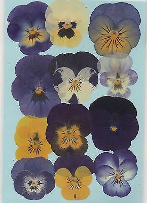 Real Pressed Flowers 12 Assorted Violas Ideal For Card Making & Floral Craft