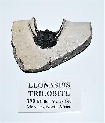 Leonaspis TRILOBITE Fossil Morocco 390 Million Years old #13062 11o