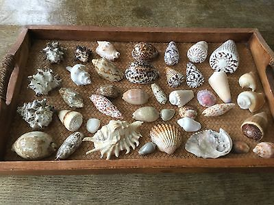 Wonderful Collection of Sea Shells assorted Seashells
