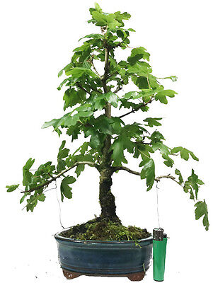 field maple - acer campestre outdoor bonsai tree