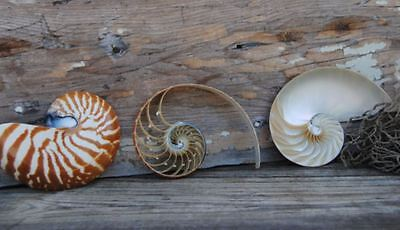 "Triple Sliced Nautilus Striped Tiger Shell 5 - 6 inch Nautilus Shells 5"" 3 Cuts"