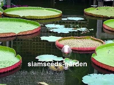 10 Seeds Victoria Amazonica Fresh Plant Pond Lily Fresh From My Garden Victoria!