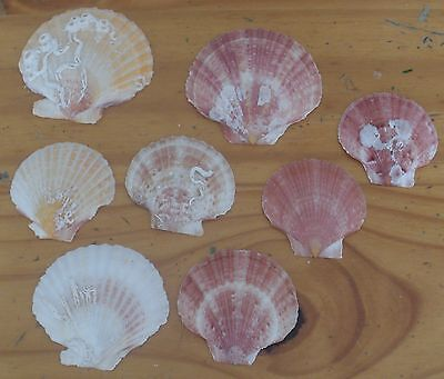 8 Queen Shells / Seashells