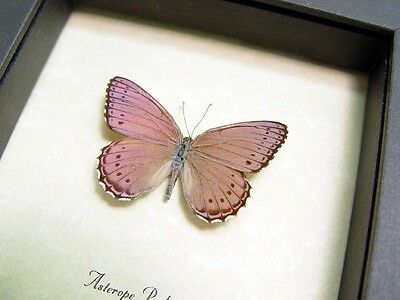 Real Framed Asterope Pechuelli Male Shimmery Lavender Butterfly 131F