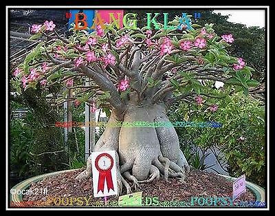A1✿⊱ Adenium Arabicum Desert Rose ❀Bang Kla❀ House Plant Bonsai Caudex Seeds ❁