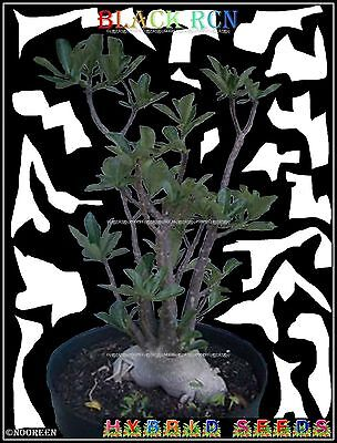 A5✿⊱ Adenium Arabicum Desert Rose ❀Black Rcn❀ House Plant Bonsai Caudex Seeds ❁