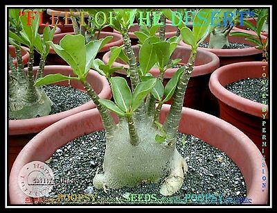 A9✿⊱ Adenium Arabicum Desert Rose ❀Fleet Of T❀ House Plant Bonsai Caudex Seeds ❁